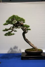 Literatenform - Pinus sylvestris