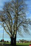 Populus canadensis 4556-(1w
